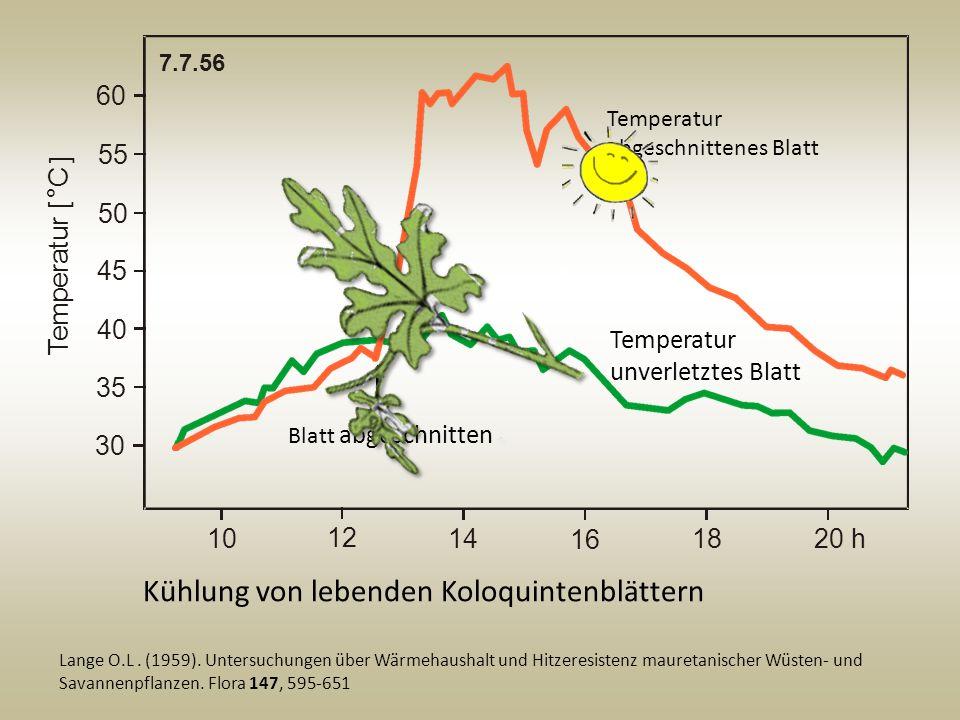 Kühlung von lebenden Koloquintenblättern