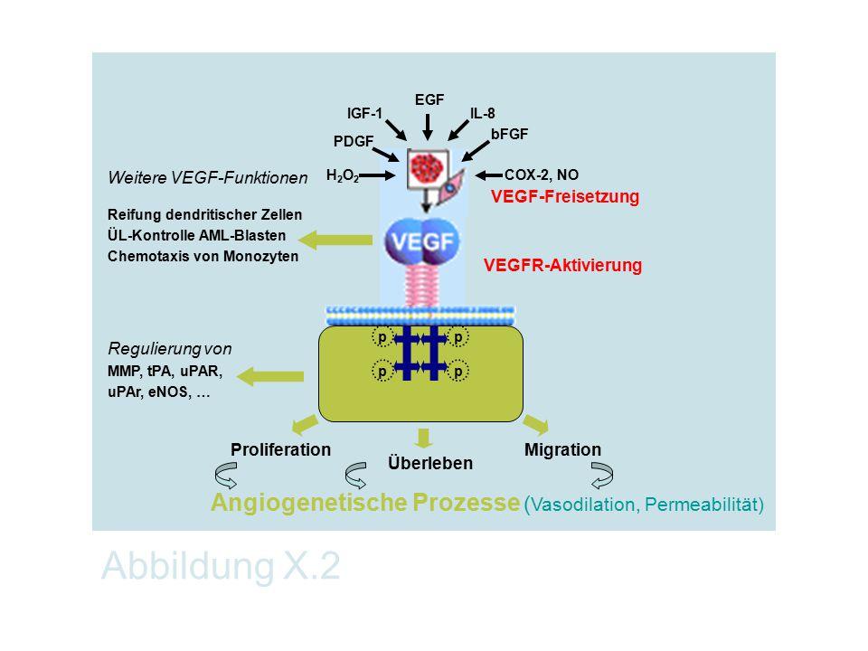 Abbildung X.2 Angiogenetische Prozesse (Vasodilation, Permeabilität)