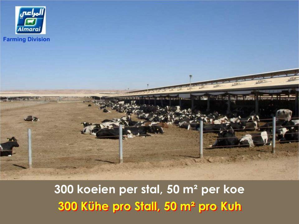 300 koeien per stal, 50 m² per koe 300 Kühe pro Stall, 50 m² pro Kuh