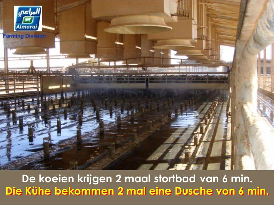 De koeien krijgen 2 maal stortbad van 6 min.