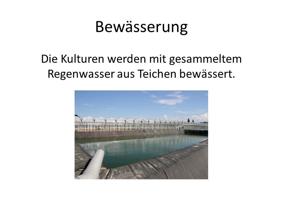 Die Kulturen werden mit gesammeltem Regenwasser aus Teichen bewässert.