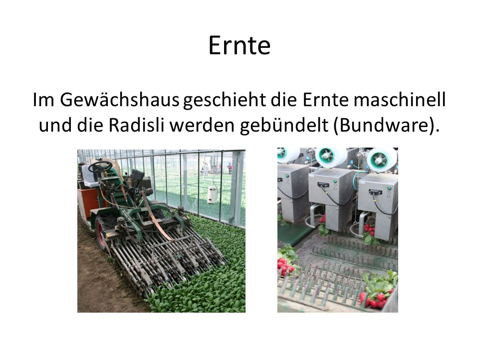 Ernte Im Gewächshaus geschieht die Ernte maschinell und die Radisli werden gebündelt (Bundware).