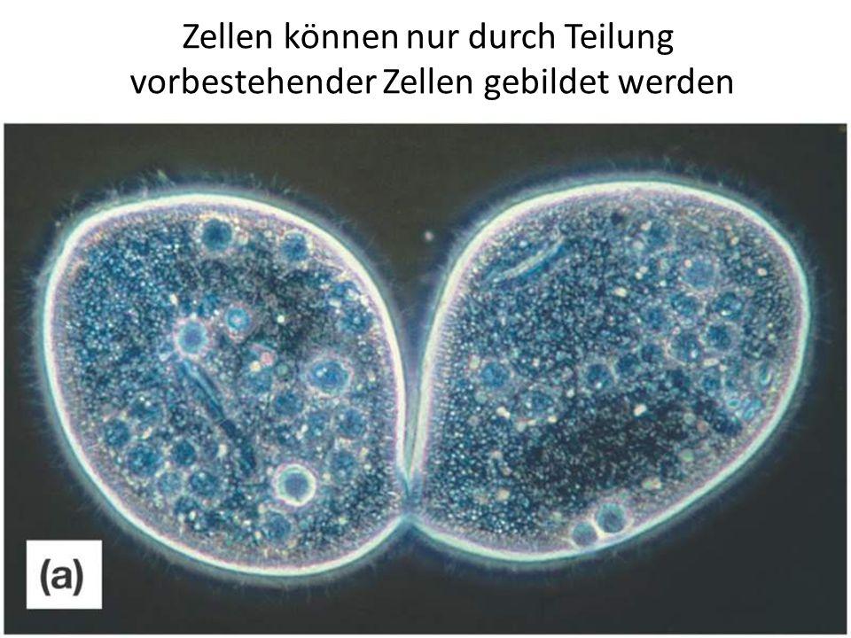 Zellen können nur durch Teilung vorbestehender Zellen gebildet werden