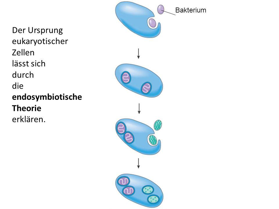 endosymbiotische Theorie erklären.