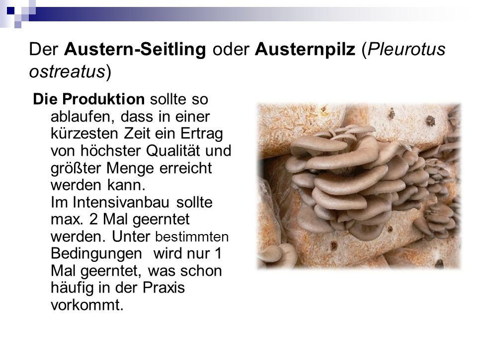 Der Austern-Seitling oder Austernpilz (Pleurotus ostreatus)