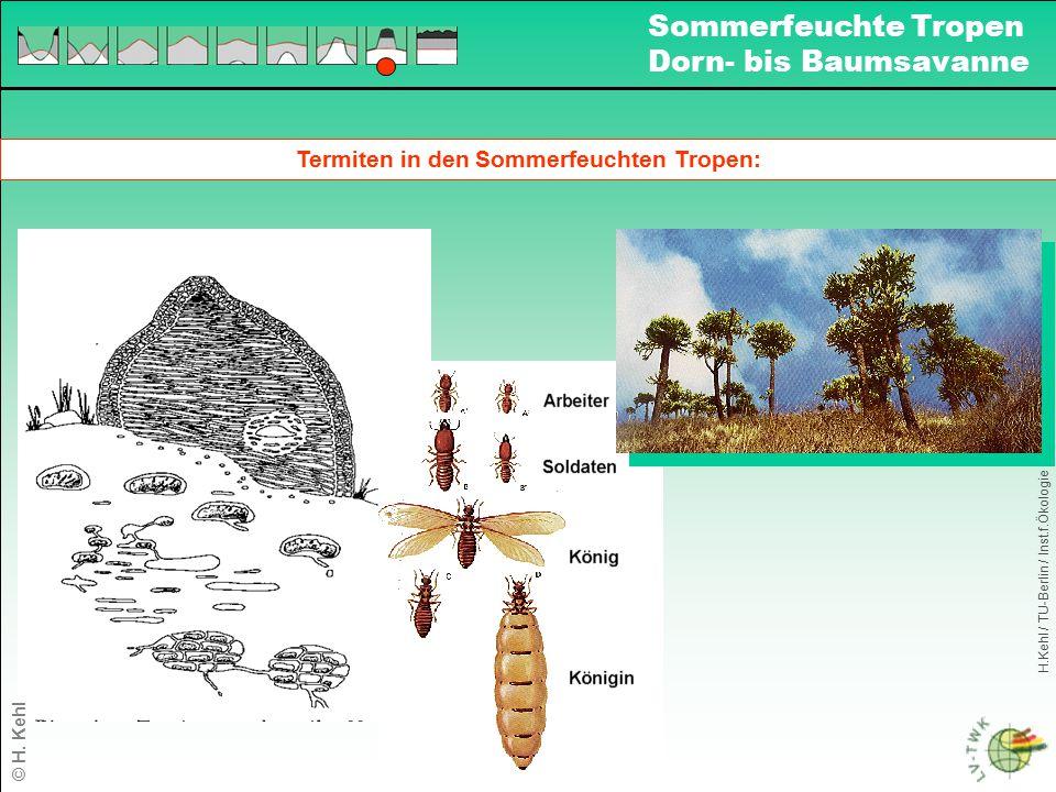Termiten in den Sommerfeuchten Tropen: