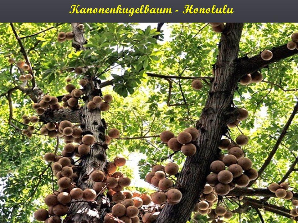 Kanonenkugelbaum - Honolulu