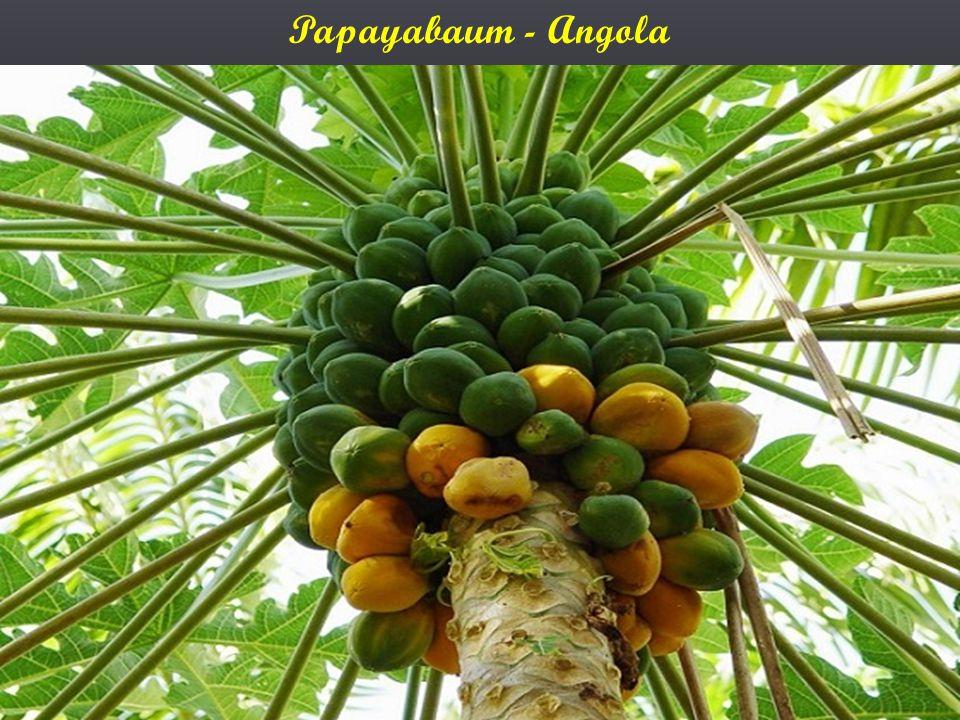 Papayabaum - Angola