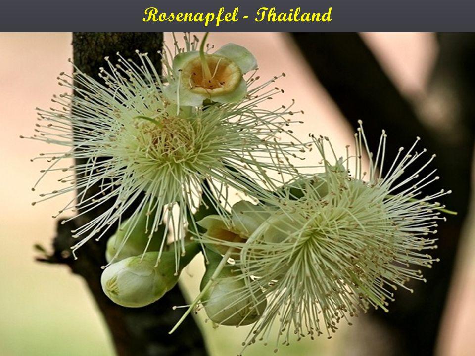 Rosenapfel - Thailand