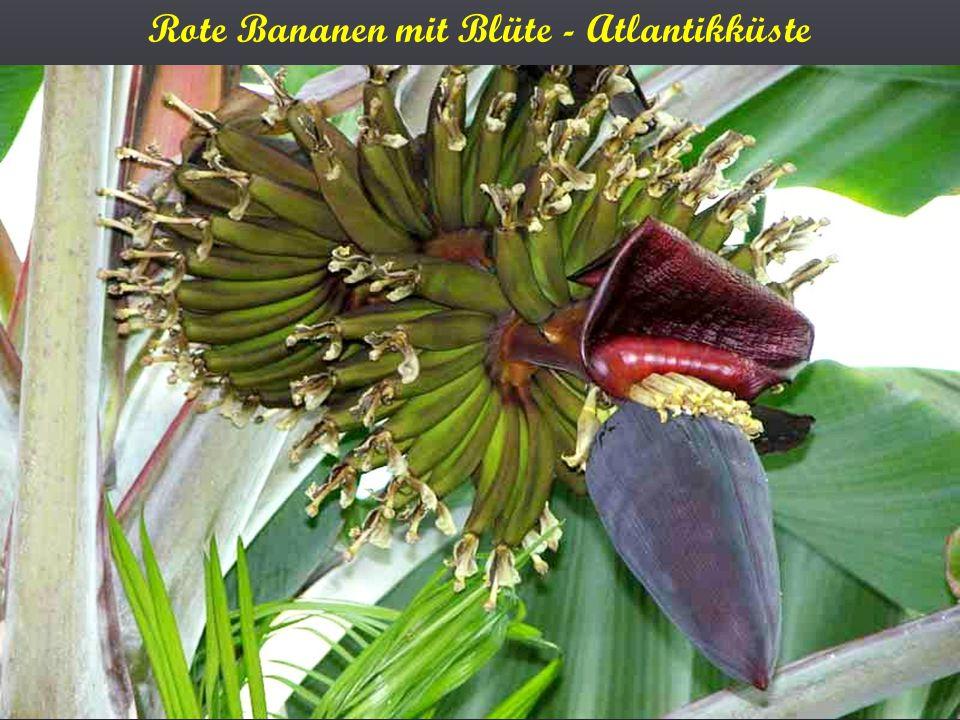 Rote Bananen mit Blüte - Atlantikküste