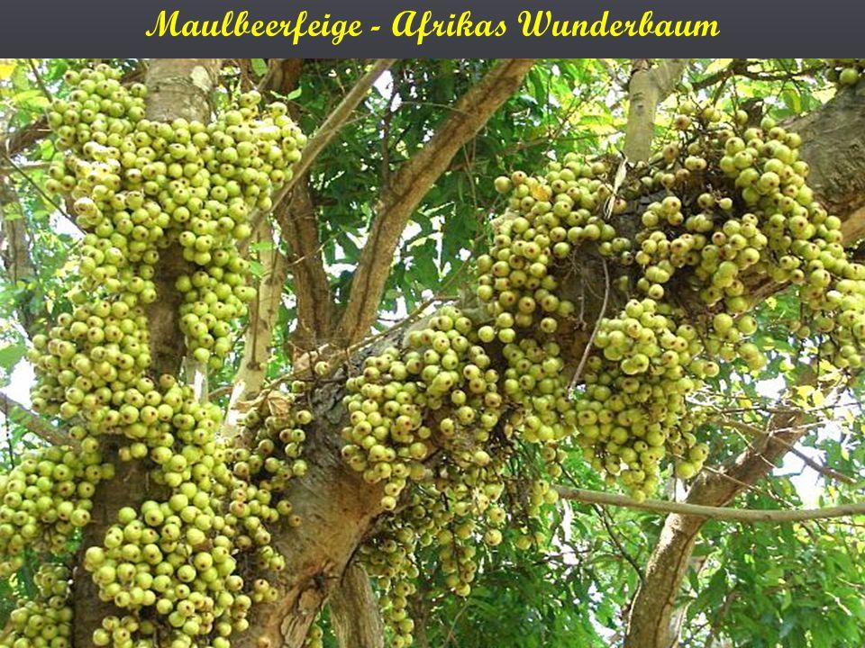 Maulbeerfeige - Afrikas Wunderbaum