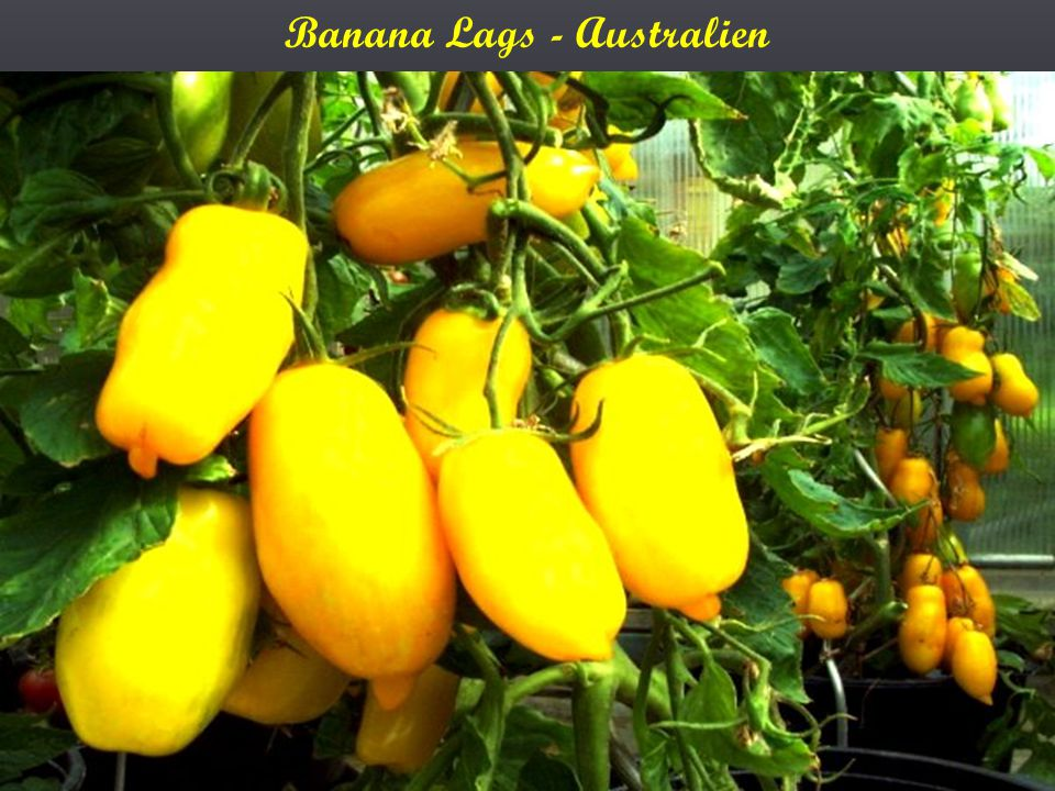 Banana Lags - Australien