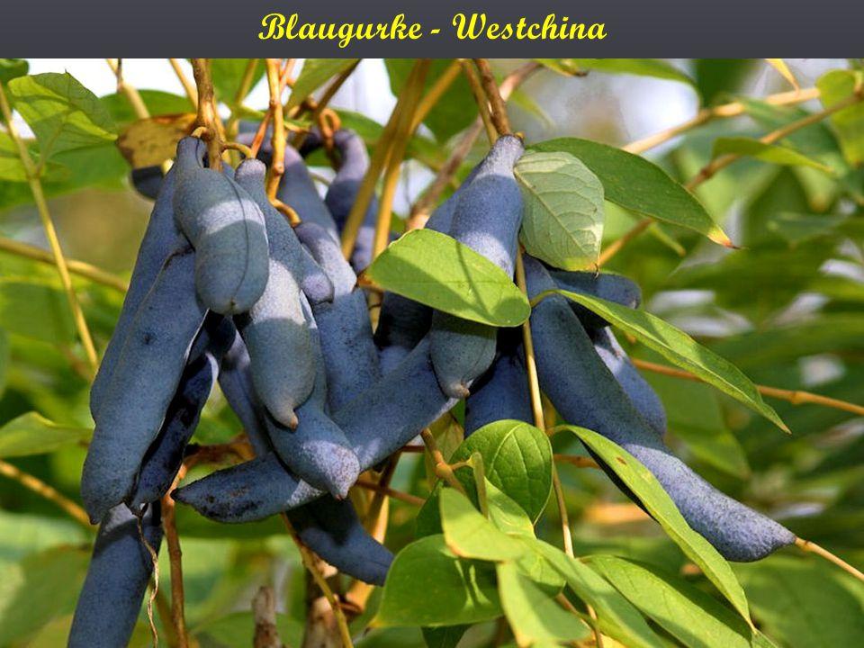Blaugurke - Westchina