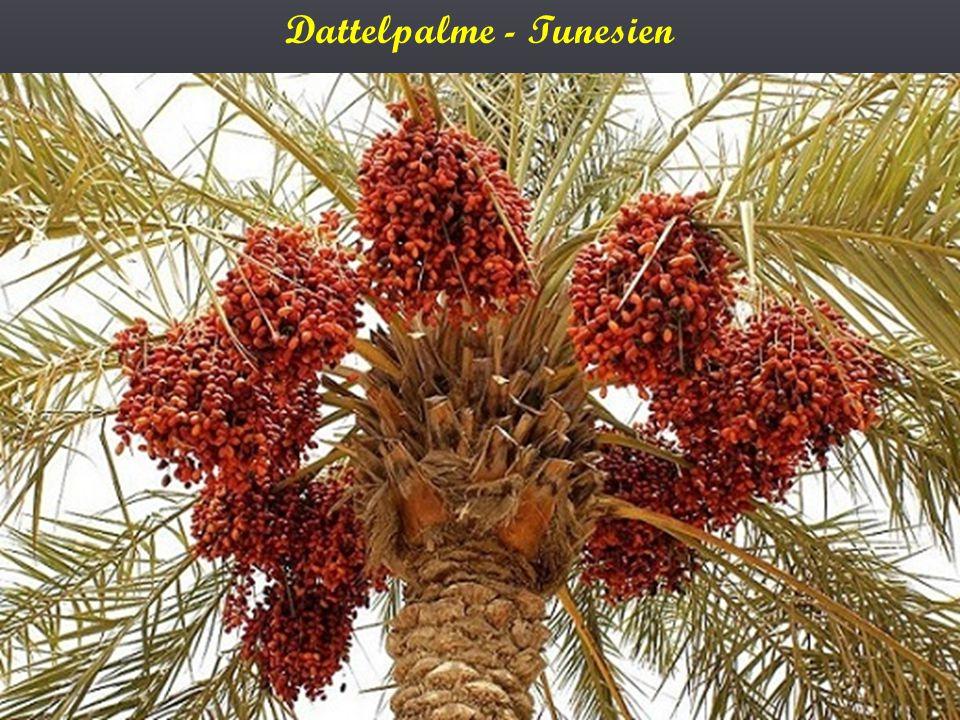 Dattelpalme - Tunesien
