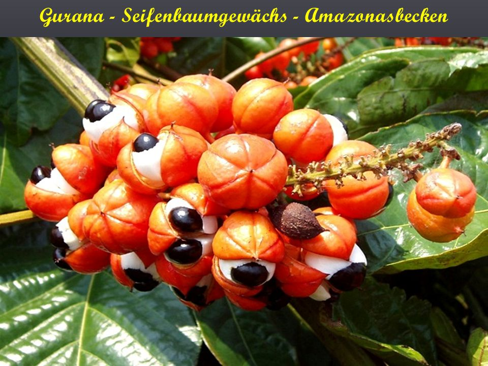 Gurana - Seifenbaumgewächs - Amazonasbecken
