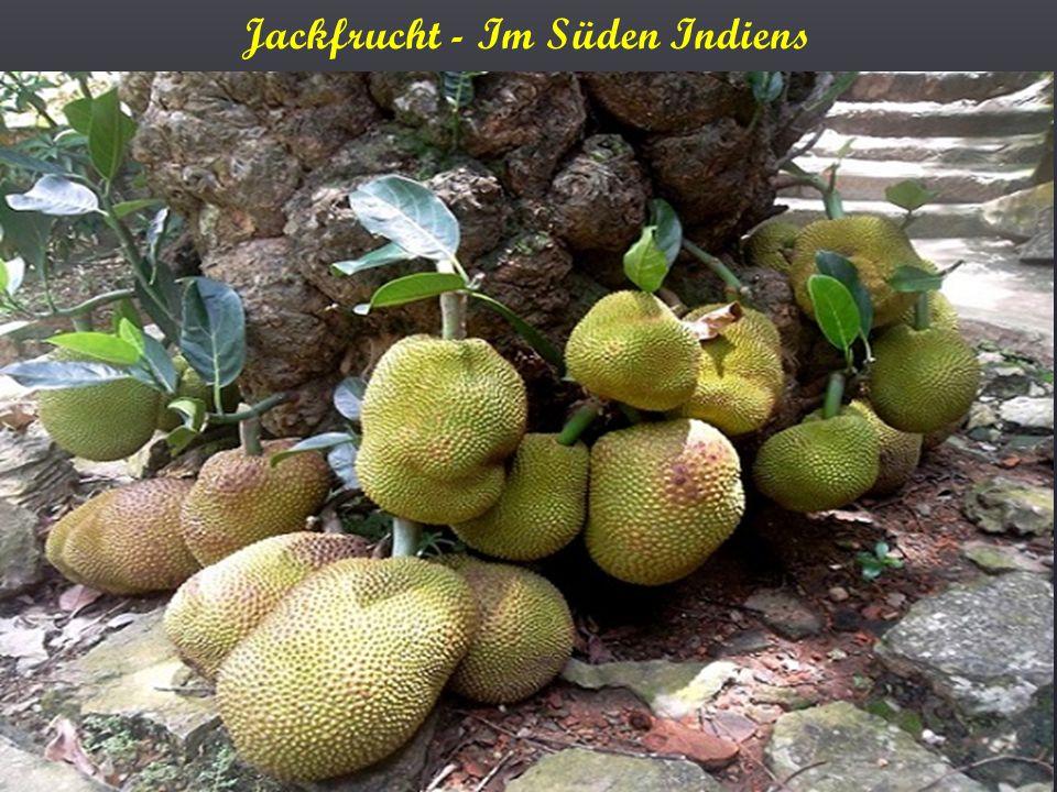 Jackfrucht - Im Süden Indiens