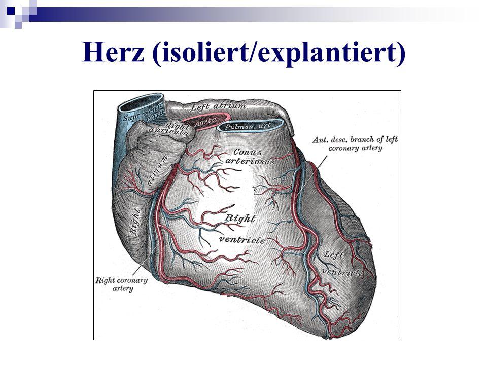 Herz (isoliert/explantiert)