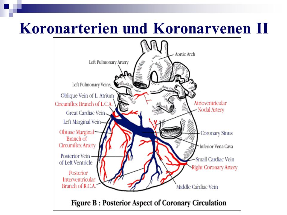 Koronarterien und Koronarvenen II