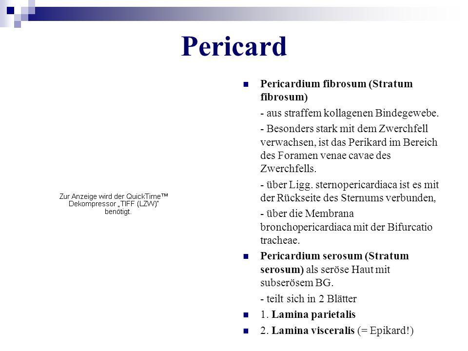 Pericard Pericardium fibrosum (Stratum fibrosum)