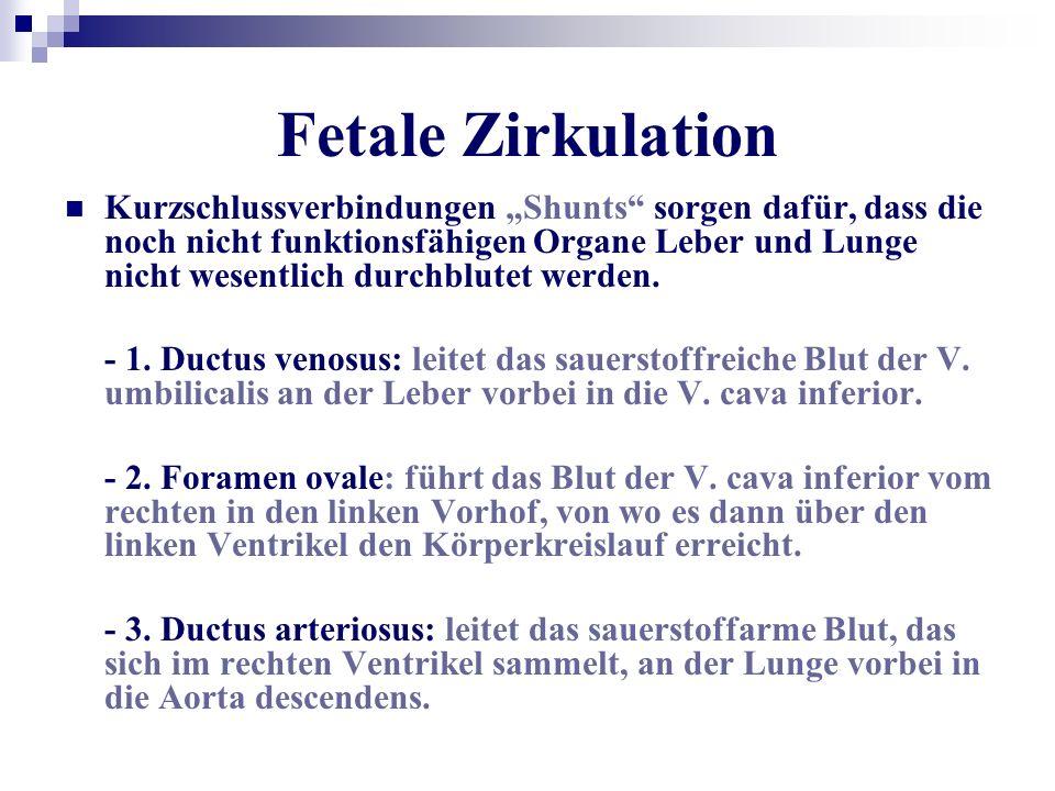 Fetale Zirkulation