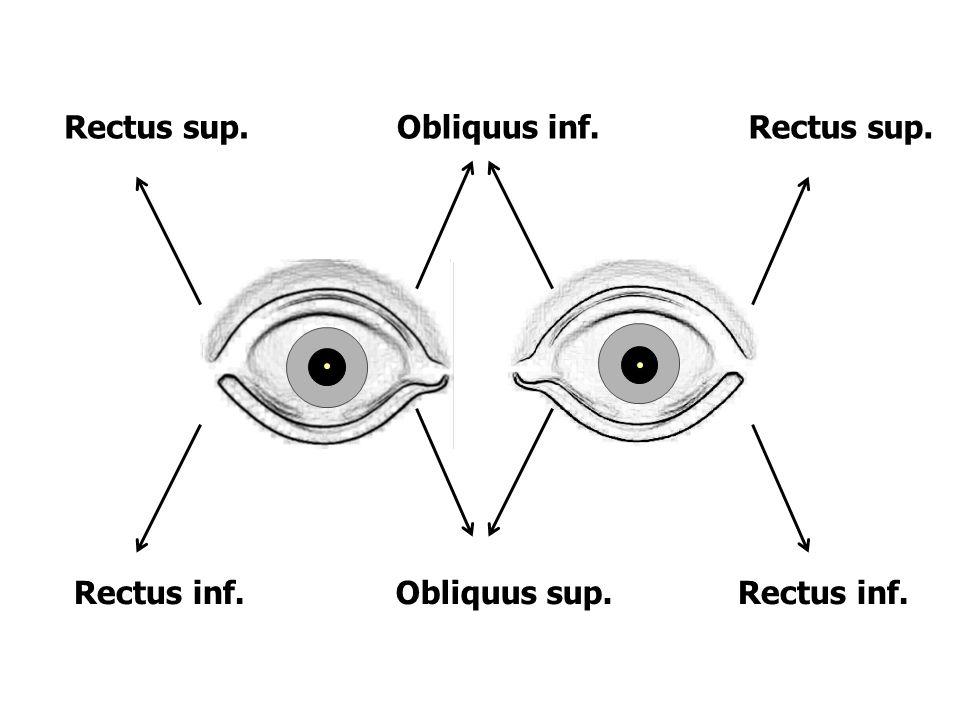 Rectus sup. Obliquus inf. Rectus sup. Rectus inf. Obliquus sup. Rectus inf.