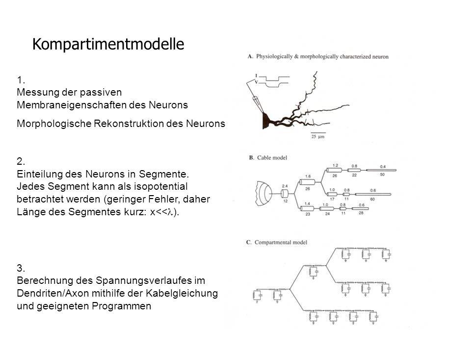 Kompartimentmodelle 1. Messung der passiven Membraneigenschaften des Neurons. Morphologische Rekonstruktion des Neurons.
