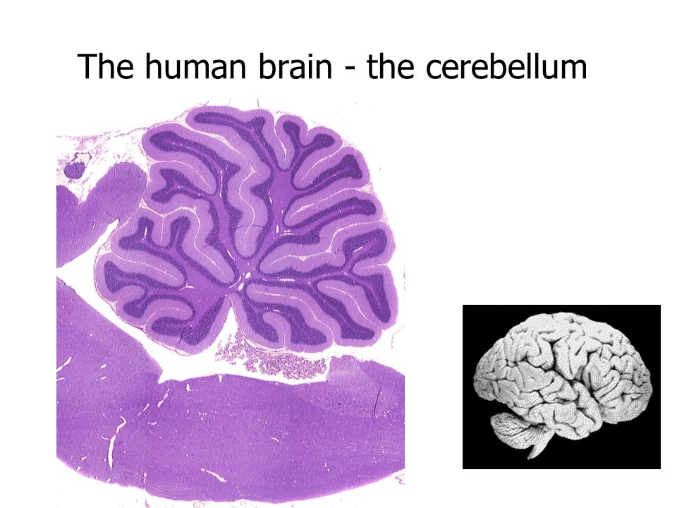 The human brain - the cerebellum