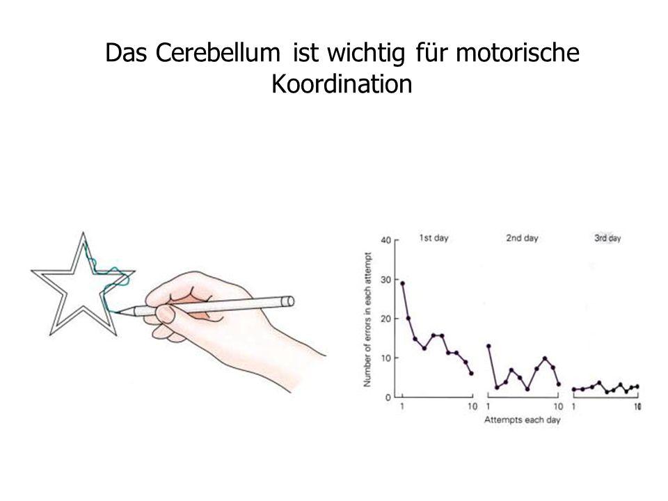 Das Cerebellum ist wichtig für motorische Koordination