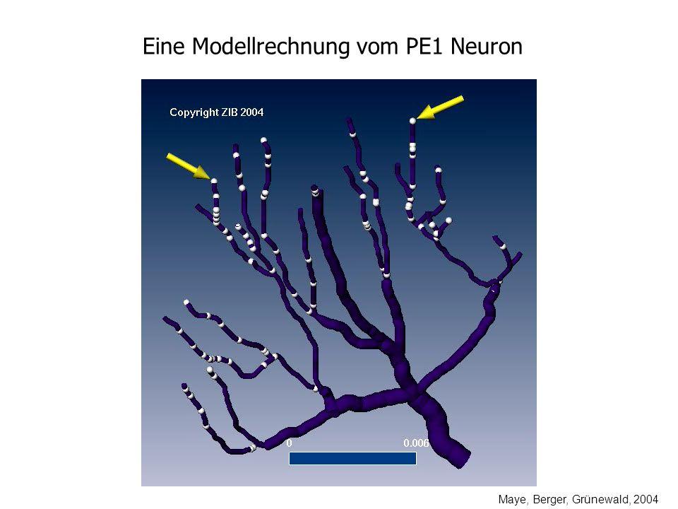 Eine Modellrechnung vom PE1 Neuron