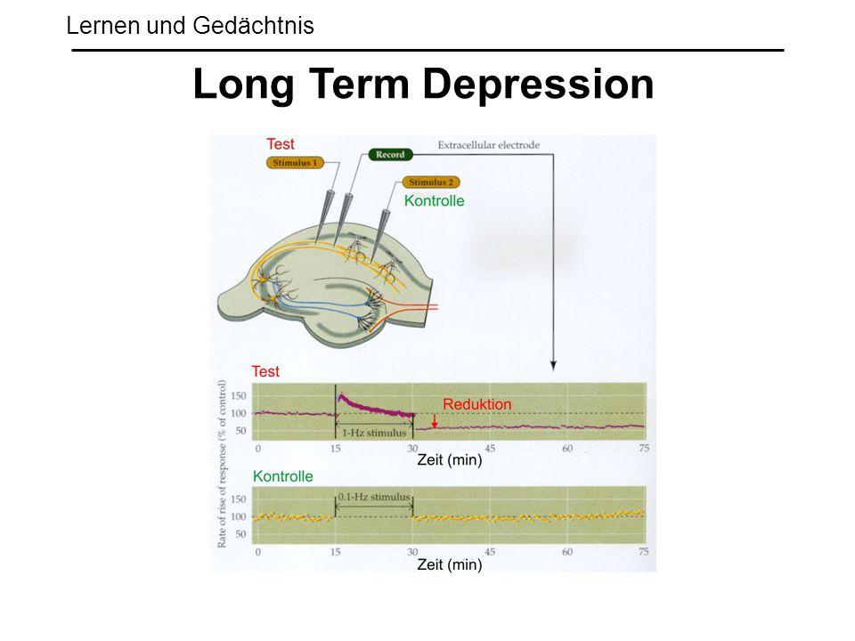 Lernen und Gedächtnis Long Term Depression