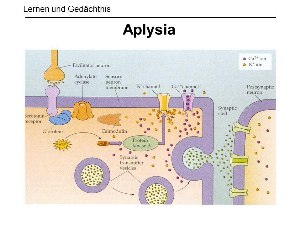 Lernen und Gedächtnis Aplysia