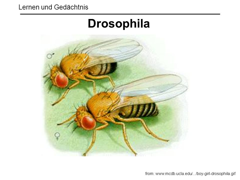 Drosophila Lernen und Gedächtnis