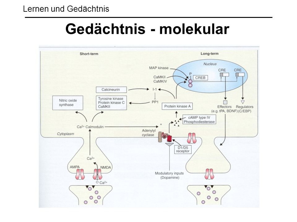 Gedächtnis - molekular