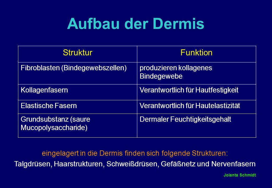 Aufbau der Dermis Struktur Funktion