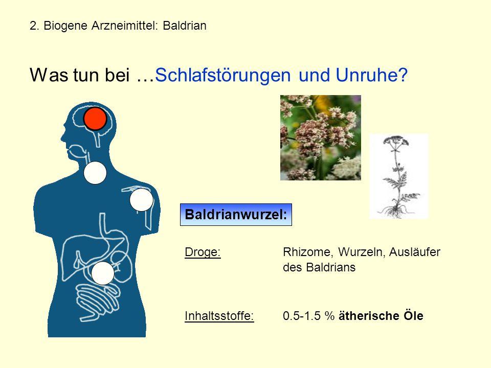 Baldrianwurzel: Droge: Rhizome, Wurzeln, Ausläufer des Baldrians