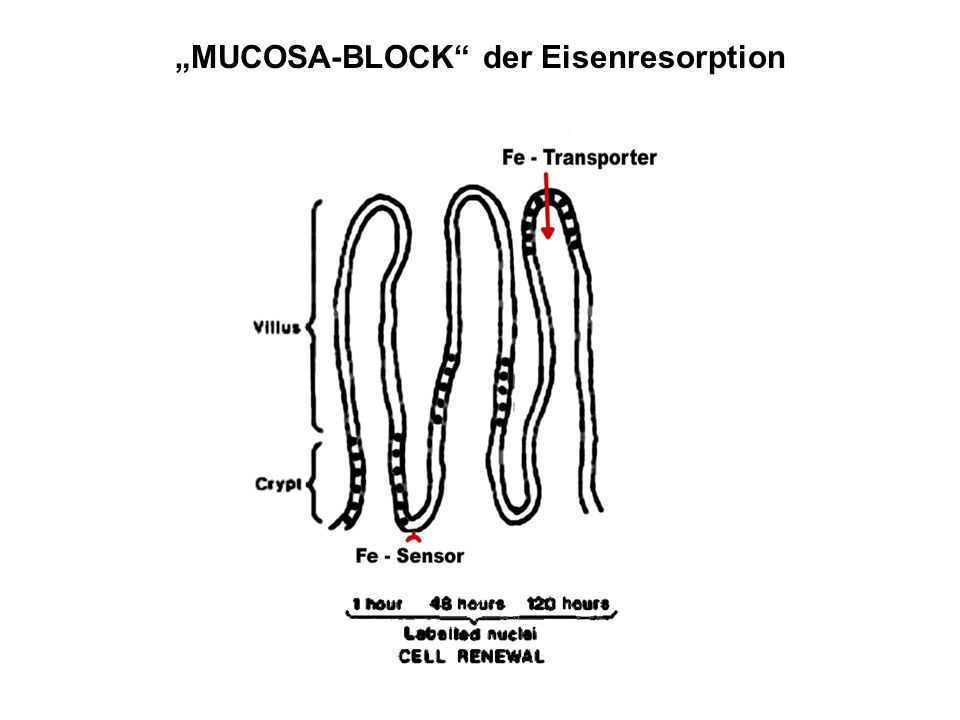 """MUCOSA-BLOCK der Eisenresorption"
