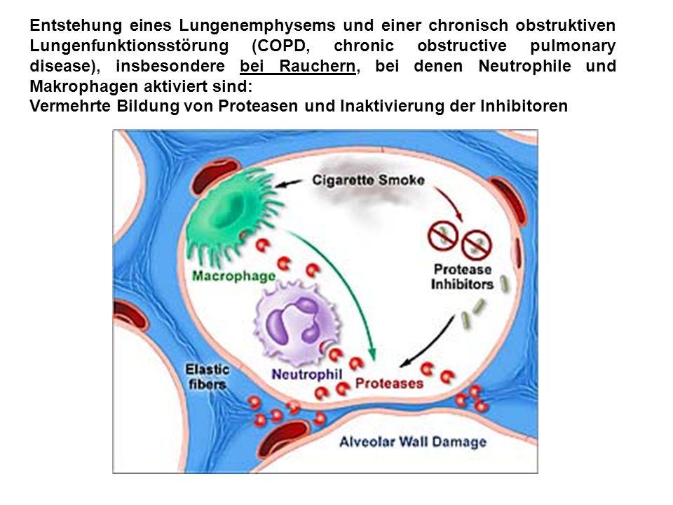 Entstehung eines Lungenemphysems und einer chronisch obstruktiven Lungenfunktionsstörung (COPD, chronic obstructive pulmonary disease), insbesondere bei Rauchern, bei denen Neutrophile und Makrophagen aktiviert sind: