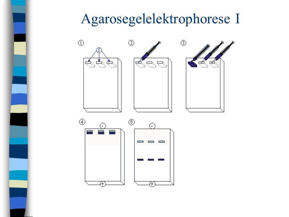 Agarosegelelektrophorese I