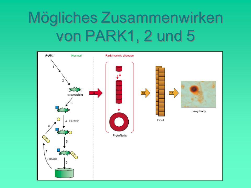 Mögliches Zusammenwirken von PARK1, 2 und 5