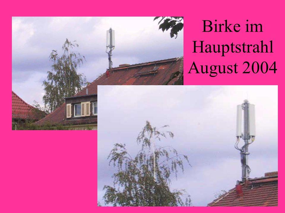 Birke im Hauptstrahl August 2004