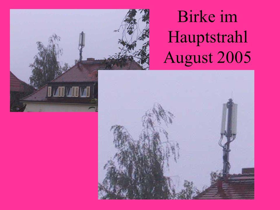 Birke im Hauptstrahl August 2005