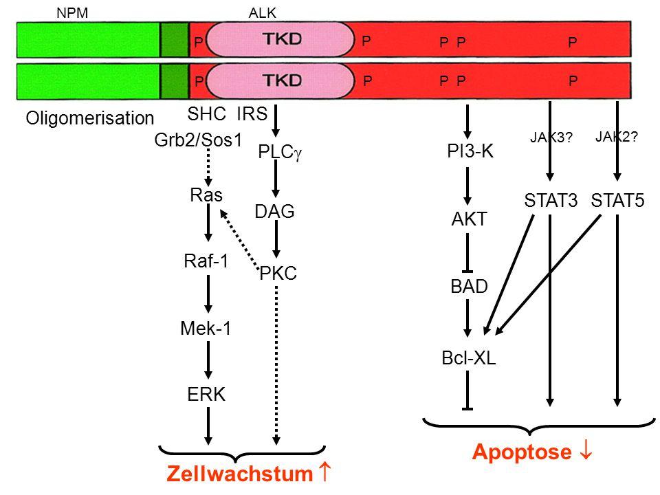 Apoptose  Zellwachstum  SHC IRS Oligomerisation Grb2/Sos1 PLC PI3-K