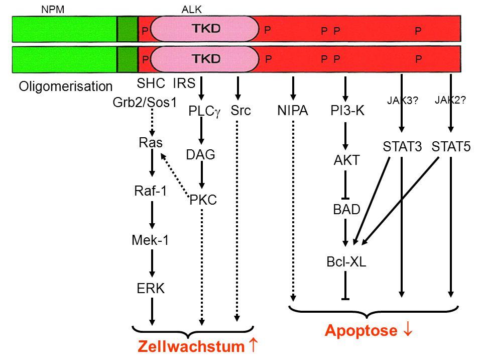 Apoptose  Zellwachstum  SHC Grb2/Sos1 IRS Ras Raf-1 Mek-1 ERK PI3-K
