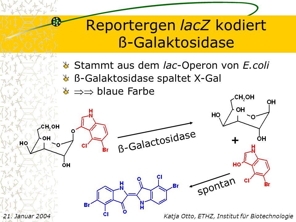 Reportergen lacZ kodiert ß-Galaktosidase