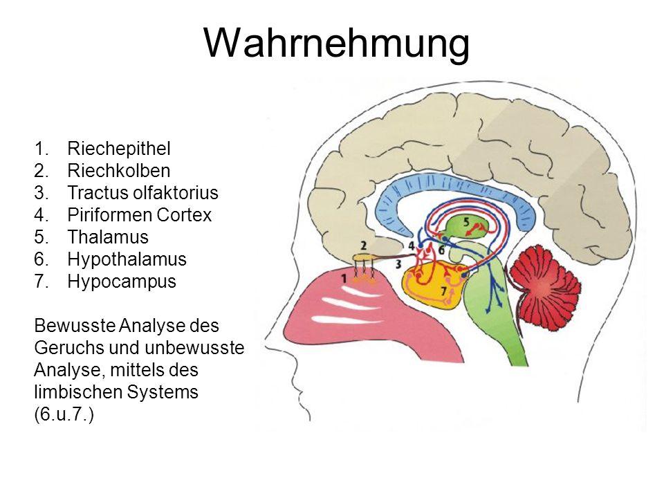 Wahrnehmung Riechepithel Riechkolben Tractus olfaktorius