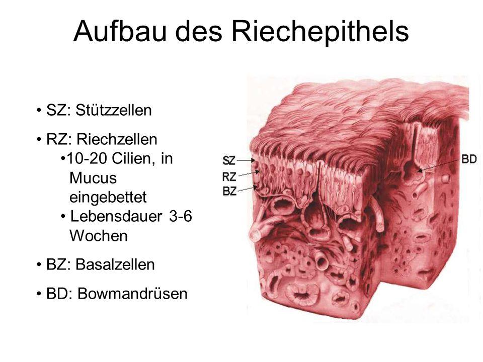 Aufbau des Riechepithels