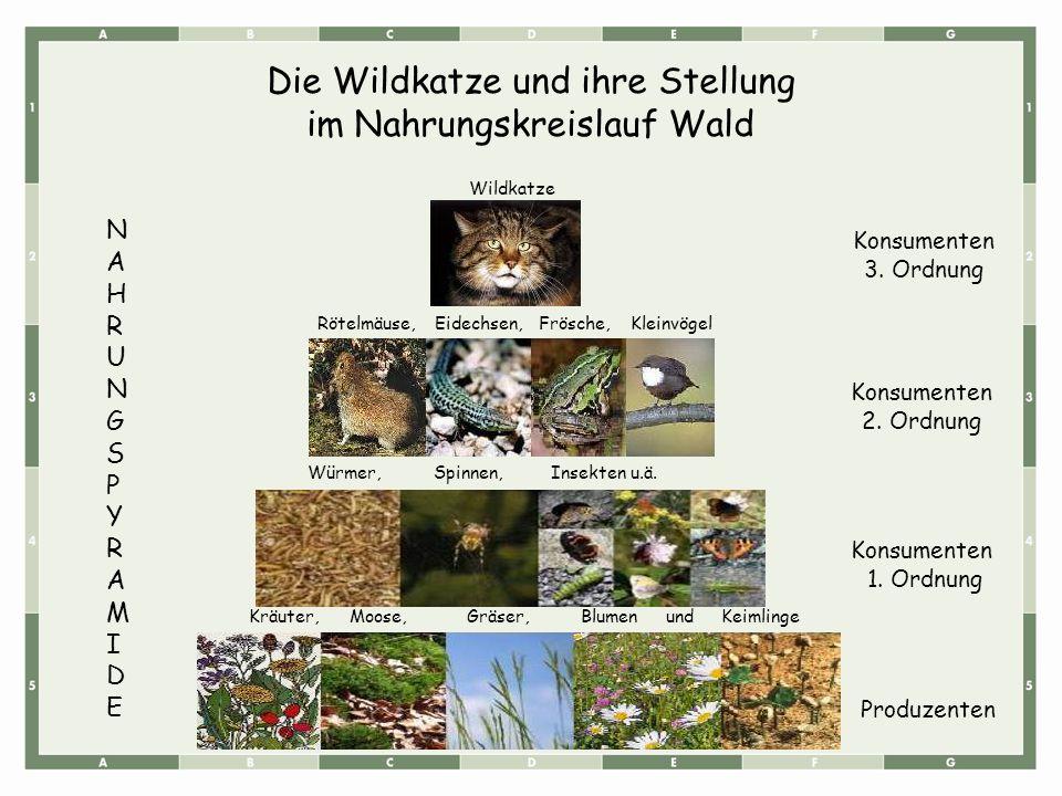 Die Wildkatze und ihre Stellung im Nahrungskreislauf Wald