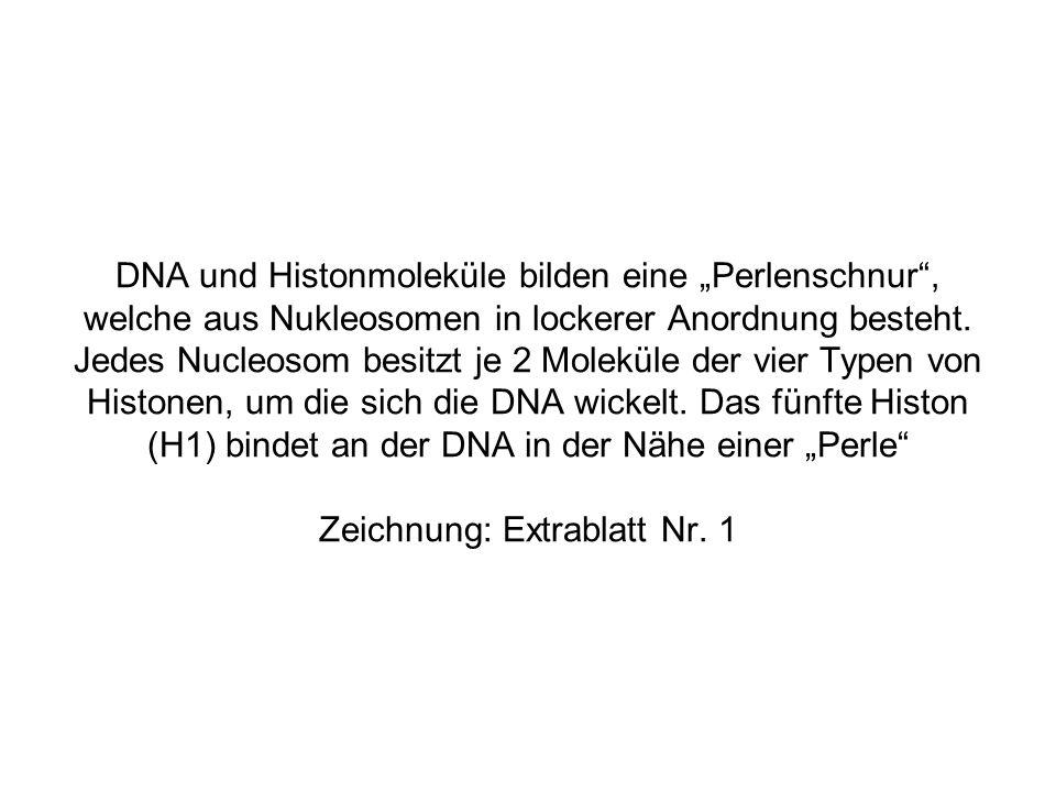 """DNA und Histonmoleküle bilden eine """"Perlenschnur , welche aus Nukleosomen in lockerer Anordnung besteht."""