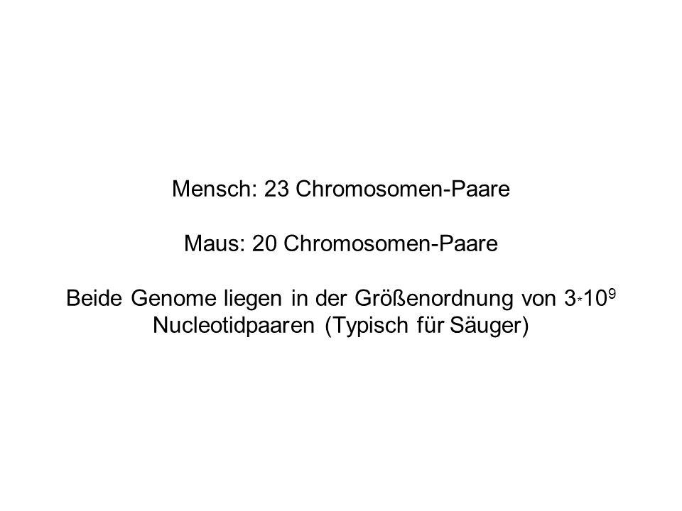 Mensch: 23 Chromosomen-Paare Maus: 20 Chromosomen-Paare Beide Genome liegen in der Größenordnung von 3*109 Nucleotidpaaren (Typisch für Säuger)