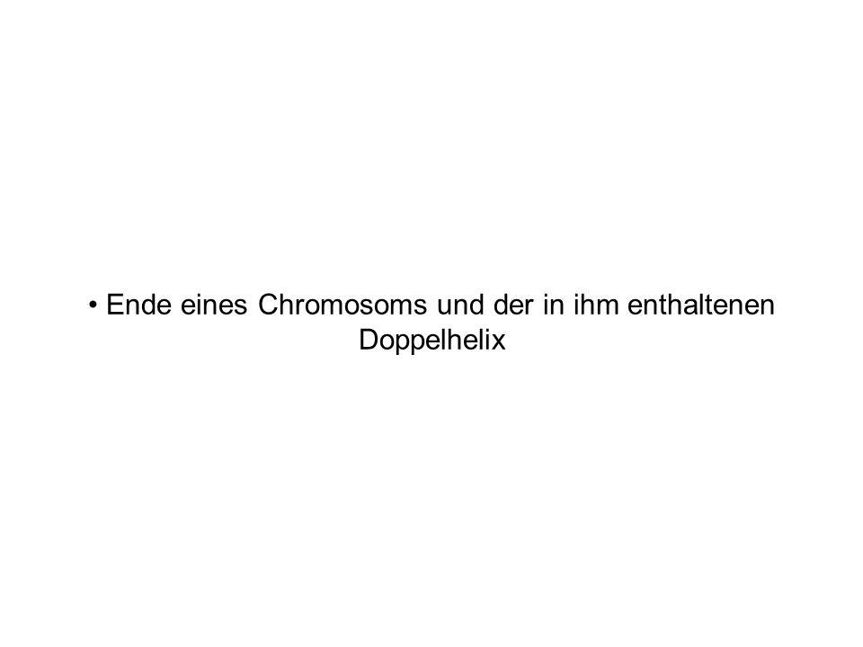 Ende eines Chromosoms und der in ihm enthaltenen Doppelhelix